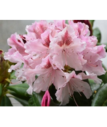 50 pcs  Pretty Yunnan Lapland Rosebay Rhododendron lapponicum Tree Flowe... - $21.89