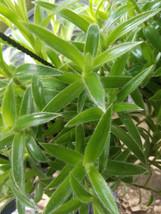 Tradescantia Cyanotis Somaliensis Furry Kitten Pussy Ears Spiderwort Inc... - €6,97 EUR