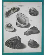 CONCHOLOGY Sea Shells Genus Arca Ark - 1820 A. REES Antique Print Engraving - $27.00