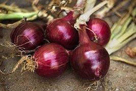 2000 Seeds or 1/2 OZ Red Burgundy Onion, Allium cepa, NON-GMO, Heirloom - $21.78