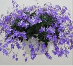 "African Violet Relative Gesneriad Streptocarpella Concord Blue 4"" Pot USA - $31.58"