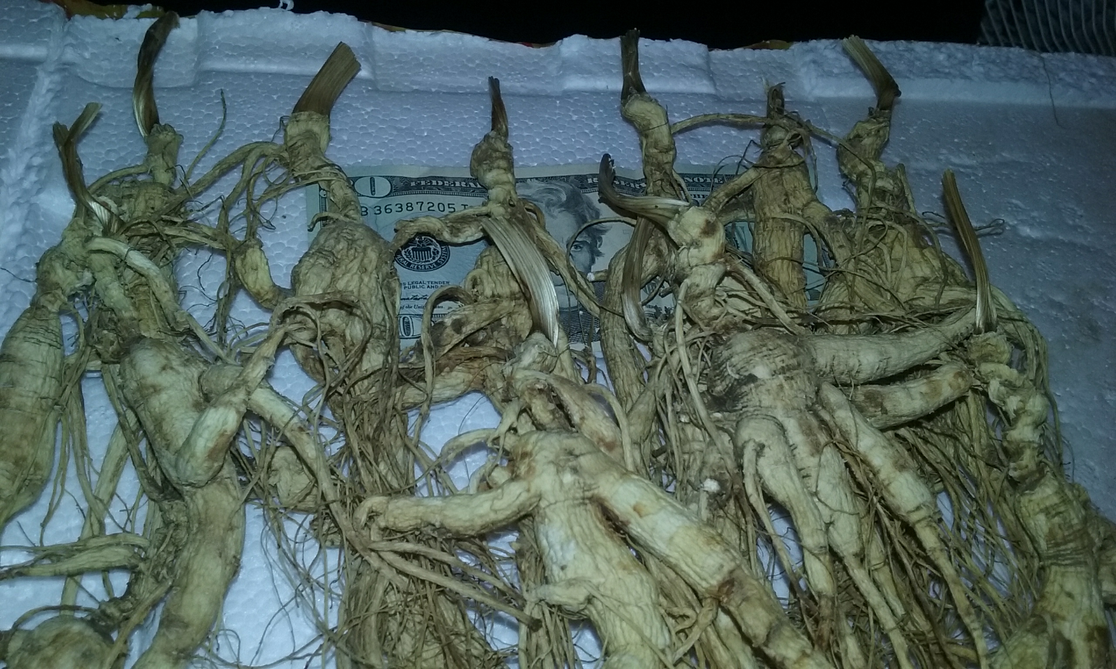ALL BIG  WILD WISCONSIN GINSENG ROOT 15-50 YEAR LONG NECK 28 GRAMS SUPER STRONG