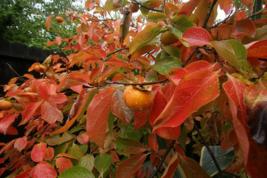 American Persimmon tree  qt. pot (Diospyros virginiana 'American)  image 4