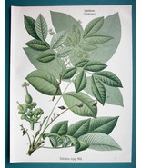 CEYLON OAK Tree Medicinal Schleichera Trijuga - Beautiful COLOR Botanica... - $26.01