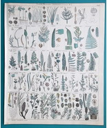 BOTANY Plants Ferns Conifers Yew Pondweed Juniper Cycas - 1843 HC Color ... - $44.96