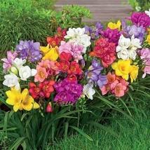 1 Packet of 20 Seeds Freesia Royal Champion Mix Flower/Freesia / Freesia... - $17.62