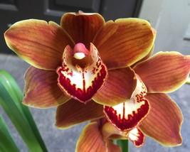 Blooming size Cymbidium Great balls of fire - new hybrid FRAGRANT flower... - $79.98
