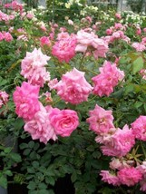 Sweet Drift ® PP #21,612 Pink Roses 2 Gal. Ground Cover Double Flower Rose Bush - $43.60
