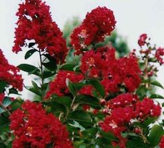 10 Dwarf Red Crape Myrtle Seeds-1195C - $2.98
