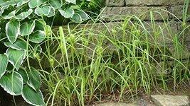 1/4 Oz Seeds Carex Lupulina Common Hop Sedge - $21.78
