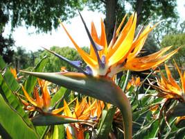 Rare color - Bird of Paradise, flowering exotic Strelitzia Reginae seed 15 seeds - $7.99