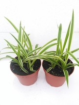 "*Two Reverse Variegated Spider Plant Cleans the Air - 4"" Pot - €17,32 EUR"
