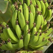 Banana Tree  Musa 'Dwarf Green' Fruiting Cavendish type banana - $27.19