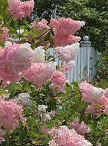 200pcs Very Exotic Lilac Flower Clove Flower Bonsai Lilac Trees Syzygium... - £12.36 GBP
