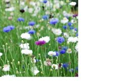 SHIPPED From US, Bachelor Button Tall White Flower 80+ Flower Seeds-SRD - $16.99