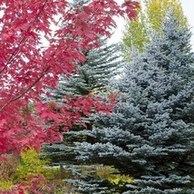 Blue Spruce Tree Seeds (Picea Pungens Glauca) 100+Seeds - $40.46