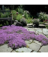 100Pcs Creeping Thyme Magic Carpet Seeds Thymus Serpyllum Seed - €17,00 EUR