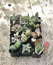 2 inch Collection Of 12 Fully Rooted Unique Rare Succulent Plants image 4