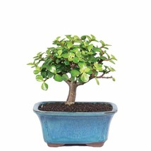 Jade Dwarf Tree Live Plant Bonsai Garden Outdoor Yard Best Gift Indoor Home - $100.00