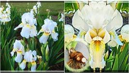 3 Iris Bulb - Tall Bearded White Live Plant large Bulb - Home Garden - $39.99