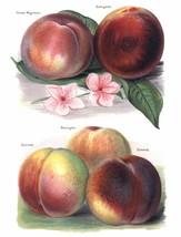 Vintage Fruit Prints: Grosse Mignonne - Fruit Growers Guide - 1880 - $12.95+