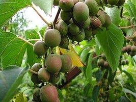 2 Hardy Kiwi Plants Actinidia Anna and Meader Fruit Starter Plant - $39.59