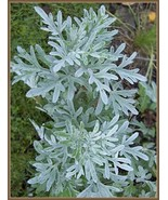 200 Wormwood Seeds Artemisia Absinthium Good Germination - $8.91
