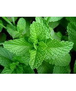Peppermint, HERB Seeds Heirloom, Non GMO 100 Peppermint Seeds, Delicious - $8.99