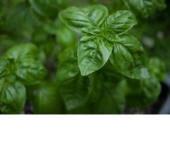 SHIP FROM US Basil, Lemon Basil Herb Seeds - Fresh and Non GMO SPT5 - $6.00