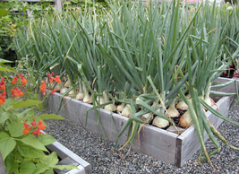 2000pcs Onion Large White Vegetable Seeds,Suitable For Flavoring IMA1 - $17.99