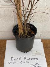 """Dwarf Burning Bush 12-18"""" gallon pot image 2"""