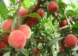Orangic 16 Seeds Peaches Pink Flower Sweet Peach Fruit Tree Seeds image 2