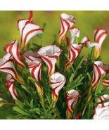 HS Garden - 100 Pcs Rare Oxalis Candy Cane Flowers Bonsai - $2.49