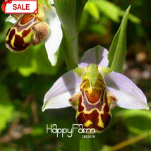 50 Seeds/pack Bee Orchid Seed Perennial Flowering Plants Potted Seed Interesting - $3.99