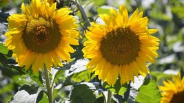 Pack of 20 Sunflower Seeds ORGANICLY growing in USA (Deer-resistent) - $5.85