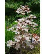 Acer Pseudoplatanus Esk Sunset Grafted - $159.99