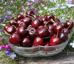 Cherry Seeds Rare Organic Edible Fruit Big Red Cherry Seeds 10pcs/bag - $4.76