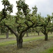 European Pear Tree Seeds (Pyrus communis) 15 Seeds - $12.99