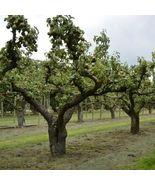 European Pear Tree Seeds (Pyrus communis) 15 Seeds - $12.99