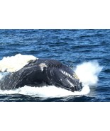 Humpback Whale Photo, Pick One Image - Various Sizes - $7.50+