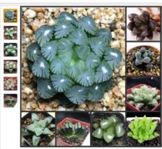 50 samen Frische Echte Haworthia cooperi Bäcker Bonsai Sukkulente Pflanzen - $4.02