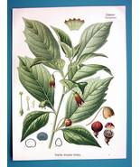 POISONOUS HENBANE Flower Scopolina Atropoides - Beautiful COLOR Botanica... - $26.01