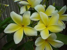Lemon Chiffon 2_tip Rare Exotic fragrant Hawaiian Plumeria Frangipani cu... - $19.95