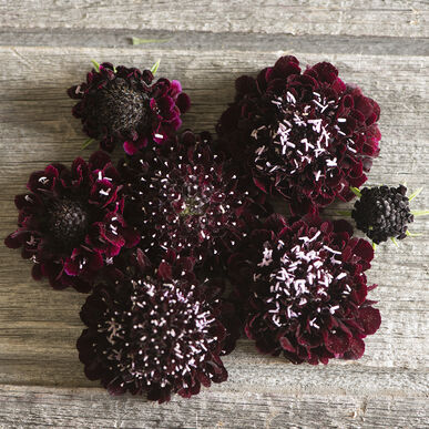 Primary image for Black Knight Scabiosa Seed, Pincushion Scabiosa Flower Seed