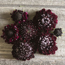 Black Knight Scabiosa Seed, Pincushion Scabiosa Flower Seed - $21.00