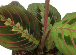 "Two Prayer Plant Maranta Easy to Grow 4"" Pot Live Plants Best Gift - €12,95 EUR"