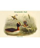 Podiceps Aurttus - Horned Grebe - Duck by John Gould - Art Print - $19.99+