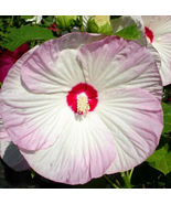 SHIPPED FROM US 100 Hibiscus Moscheutos Luna Blush Rose Mallow Seed, BR07 - $39.80