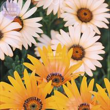 50 Dimorphotheca sinuata African Dasy Flowers Seeds, glandular cape mari... - $5.72