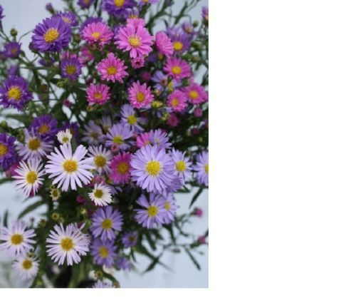 SHIPPED From US,PREMIUM SEED:400 Particles of Aster Single Rainbow,Hand-Packaged